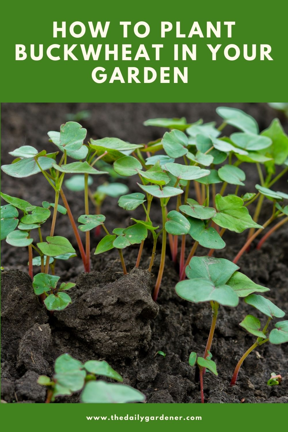 How to Plant Buckwheat in Your Garden 1