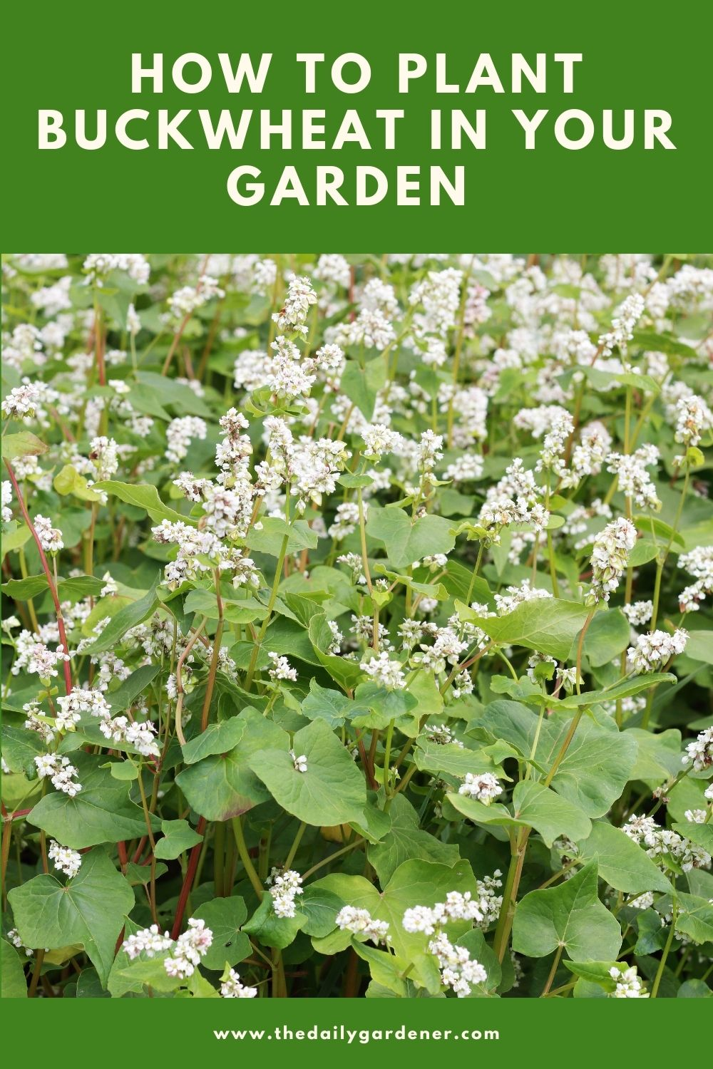 How to Plant Buckwheat in Your Garden 2
