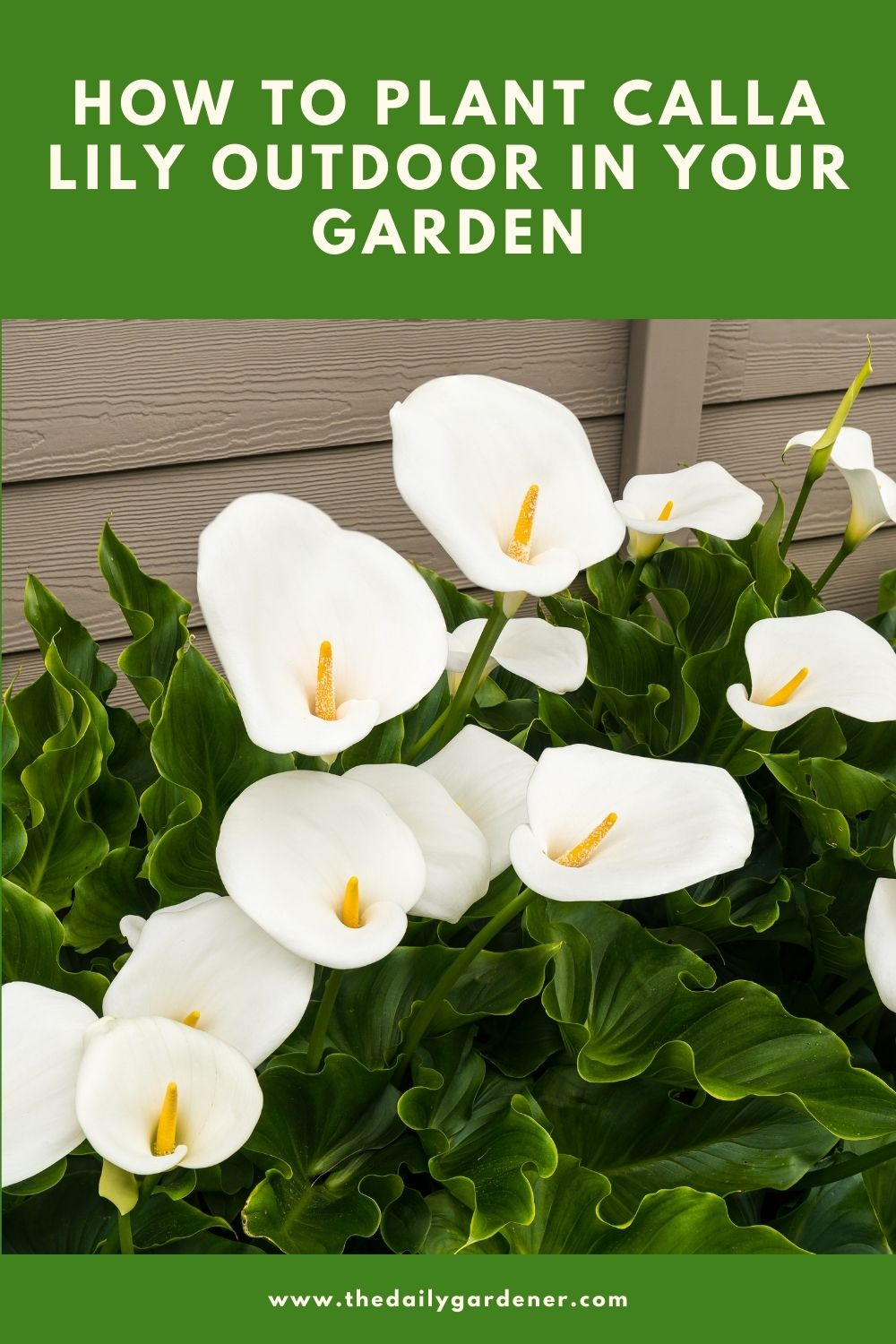 How to Plant Calla Lily Outdoor in Your Garden 1