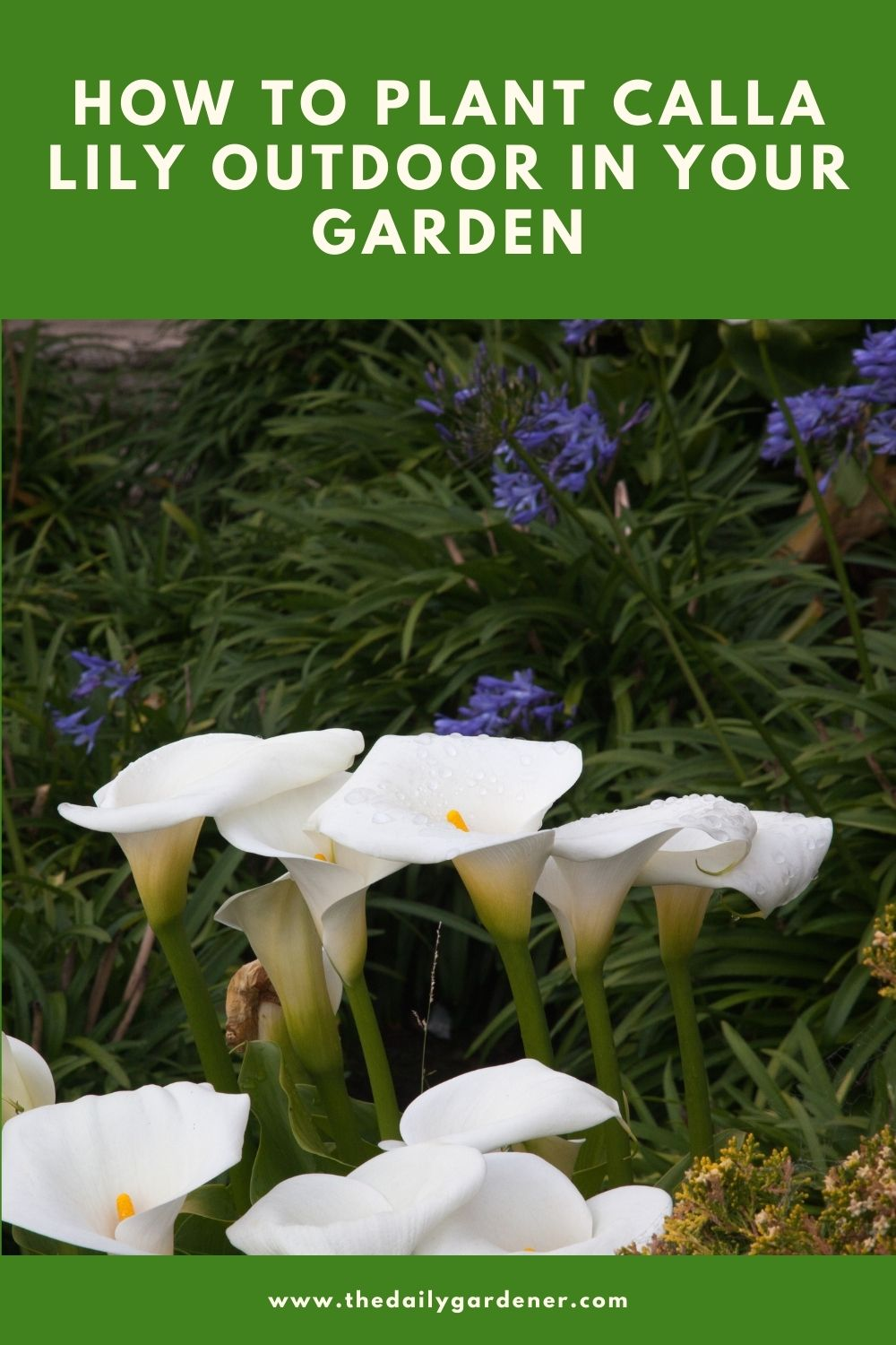 How to Plant Calla Lily Outdoor in Your Garden 2