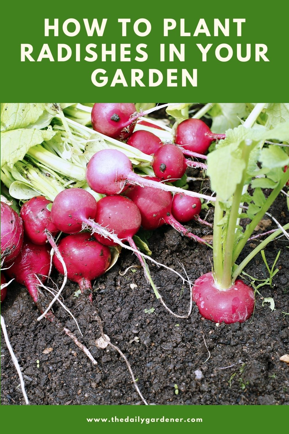 How to Plant Radishes in Your Garden 1