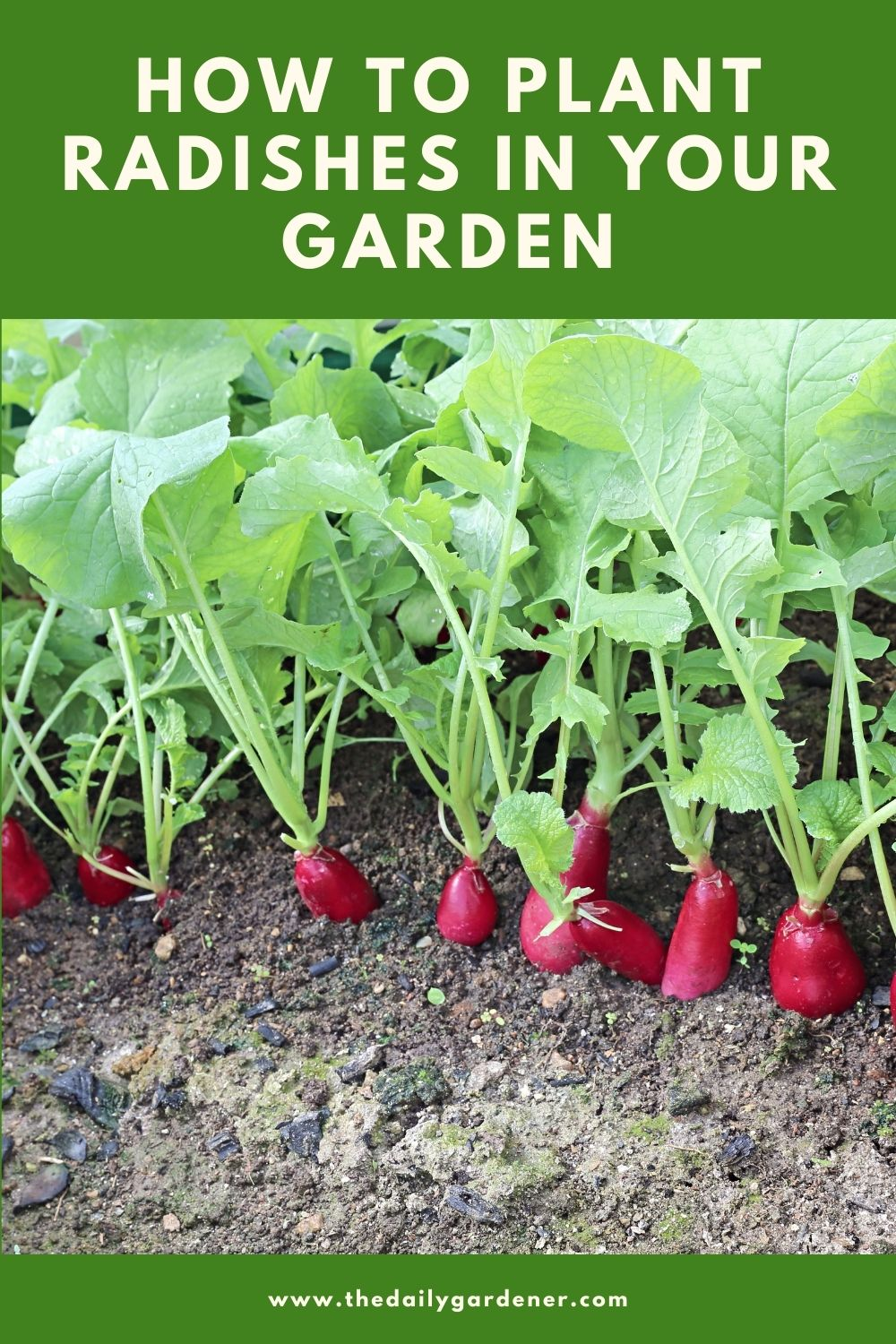 How to Plant Radishes in Your Garden 2