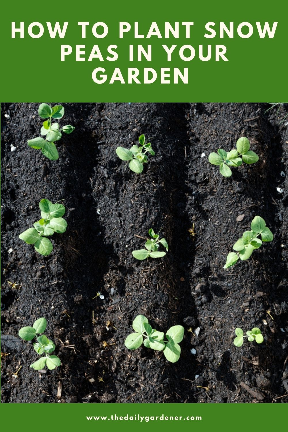 How to Plant Snow Peas in Your Garden 1