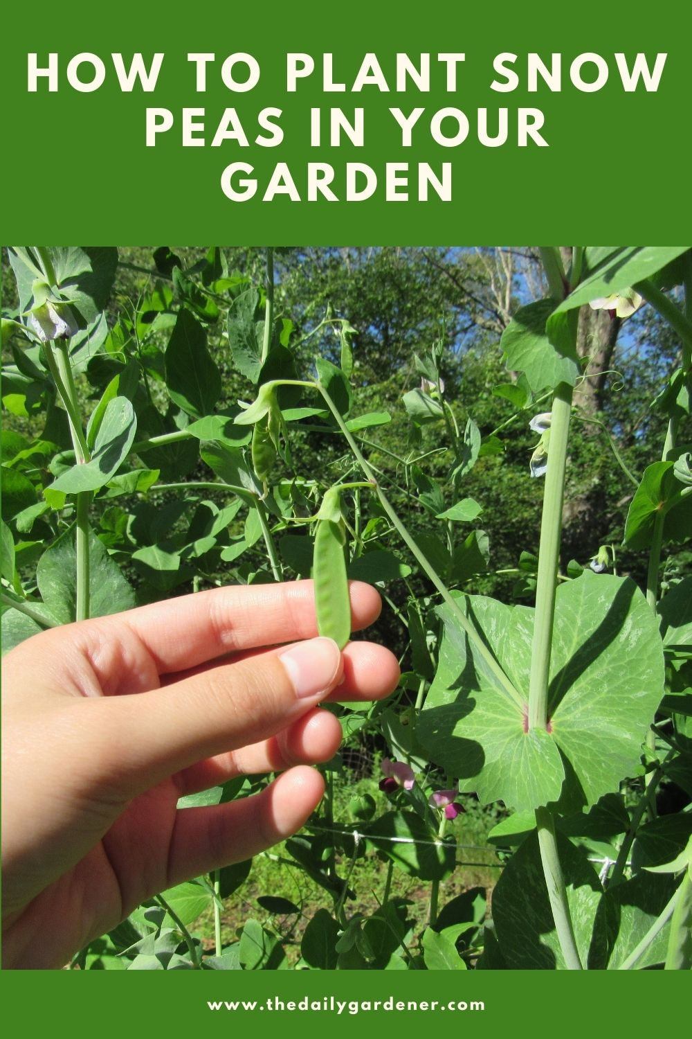 How to Plant Snow Peas in Your Garden 2