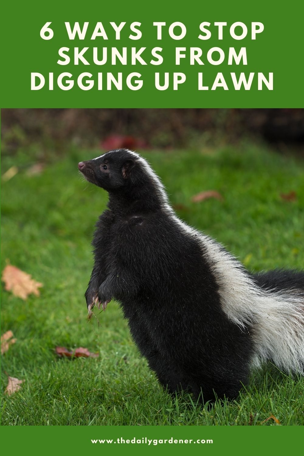 6 Ways to Stop Skunks from Digging Up Lawn 1
