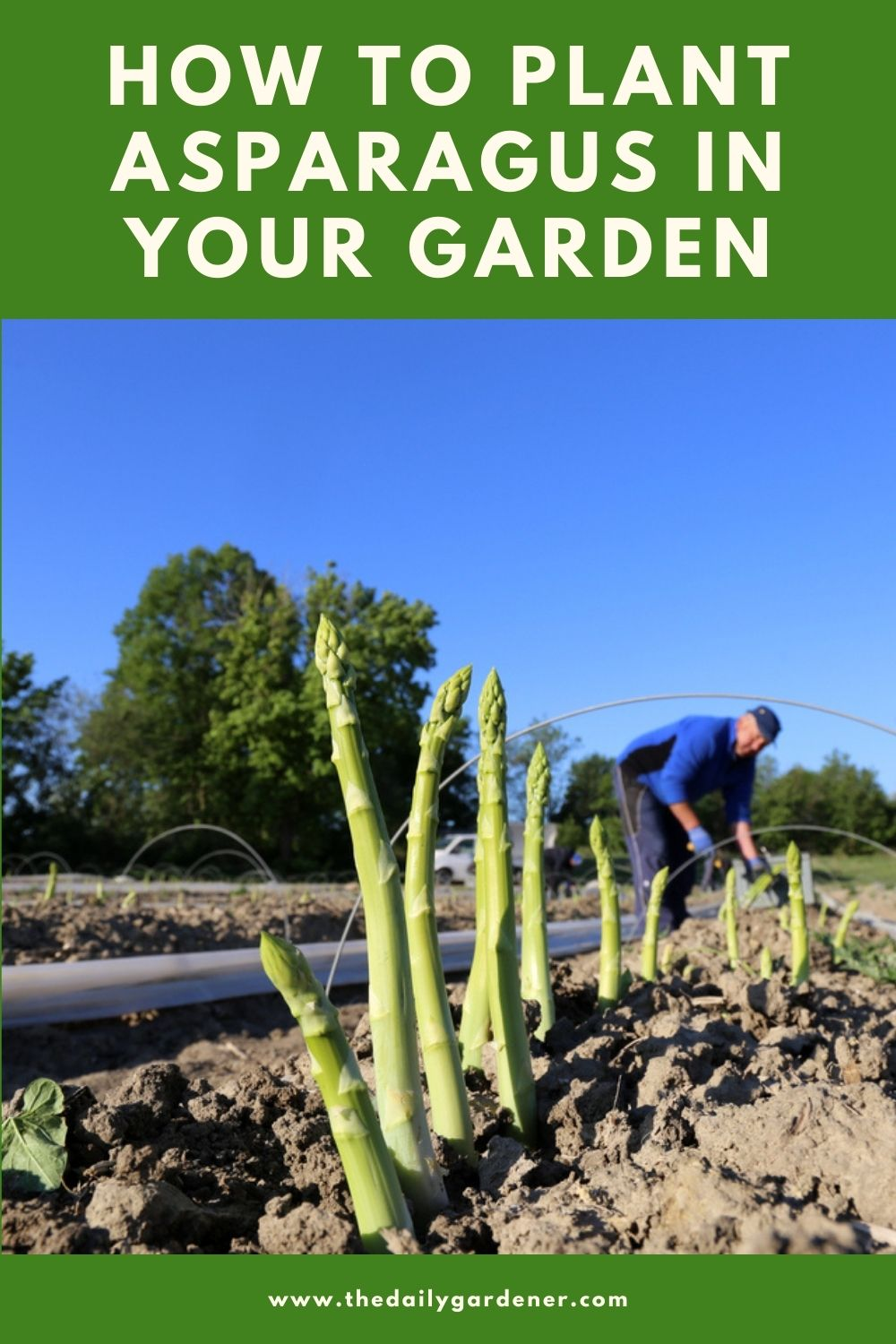 How to Plant Asparagus in Your Garden 1