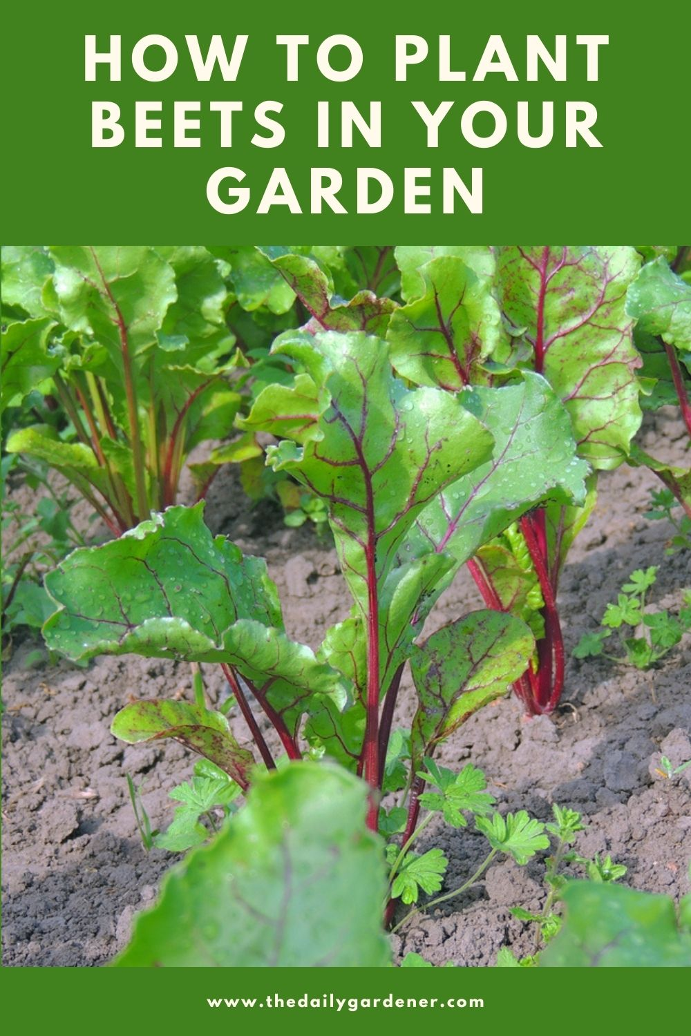 How to Plant Beets in Your Garden (Tricks to Care!) 1