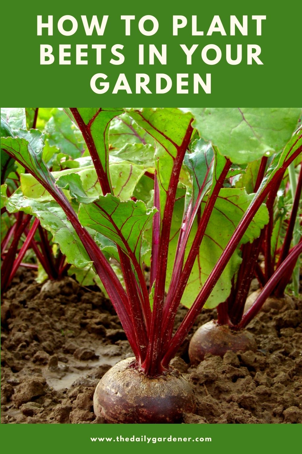 How to Plant Beets in Your Garden (Tricks to Care!) 2