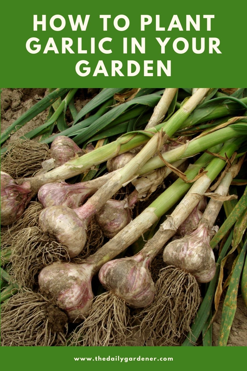How to Plant Garlic in Your Garden (Tricks to Care!) 1