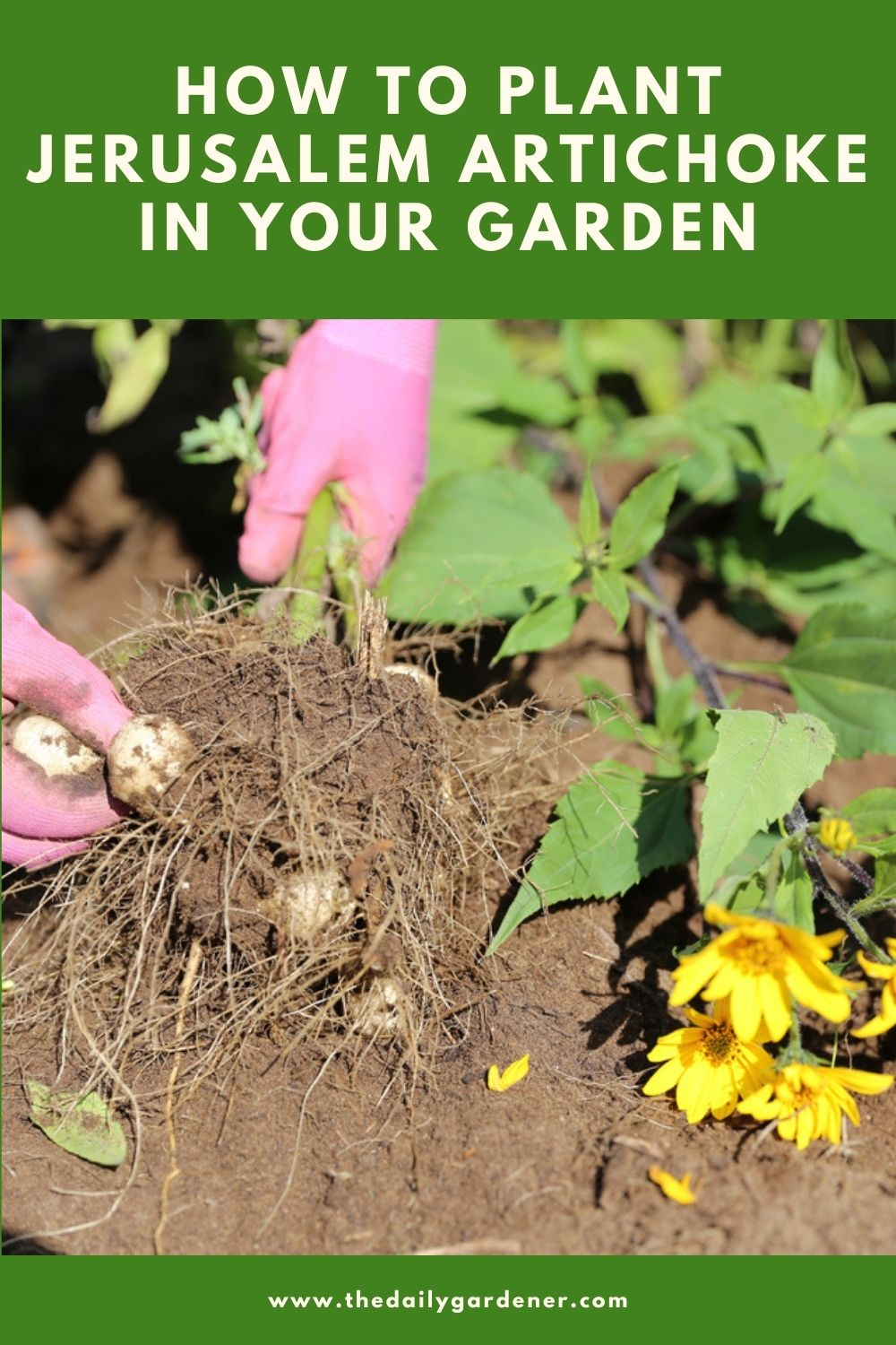 How to Plant Jerusalem Artichoke in Your Garden (Tricks to Care!) 2
