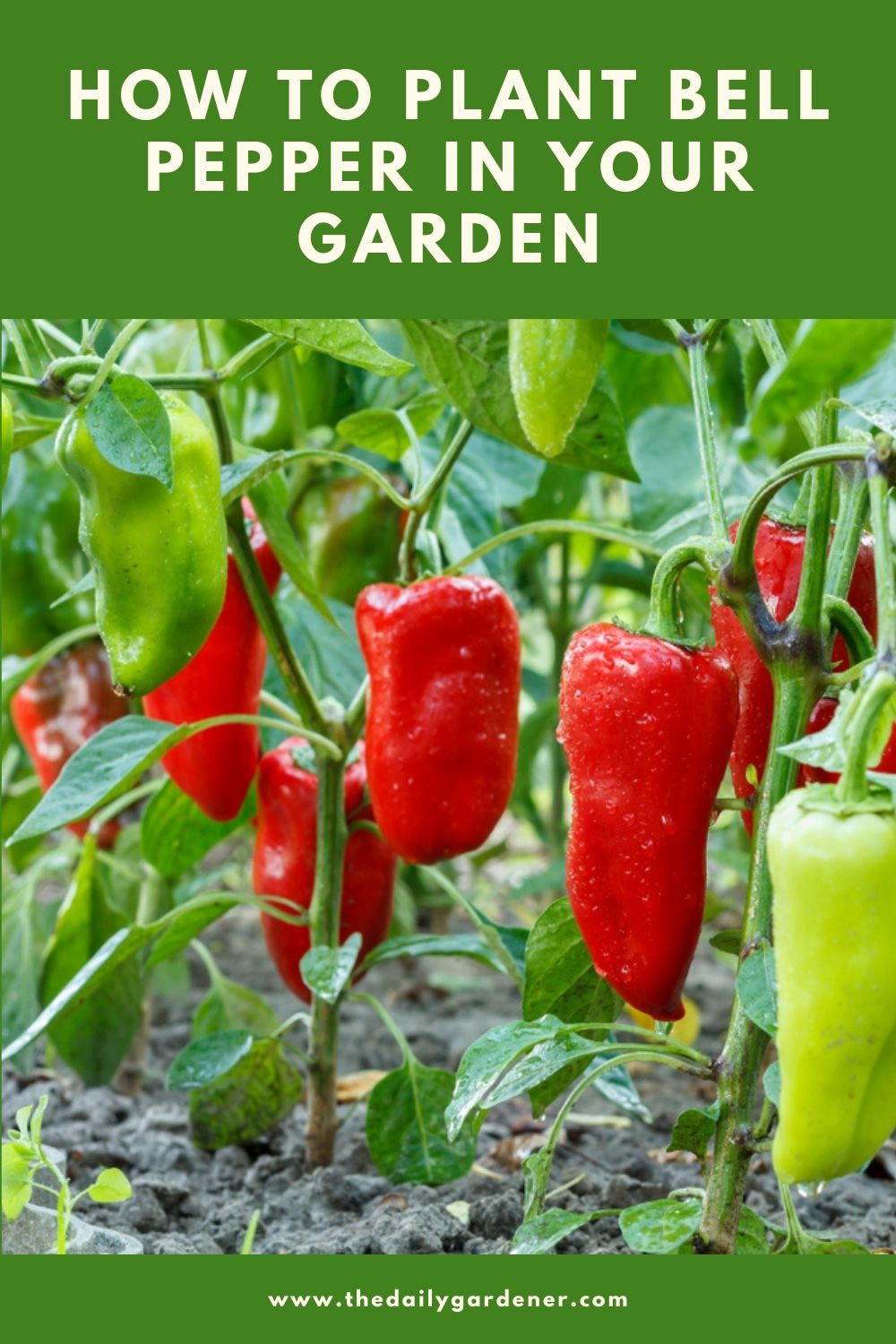 How to Plant Bell Pepper in Your Garden (Tricks to Care!) 1