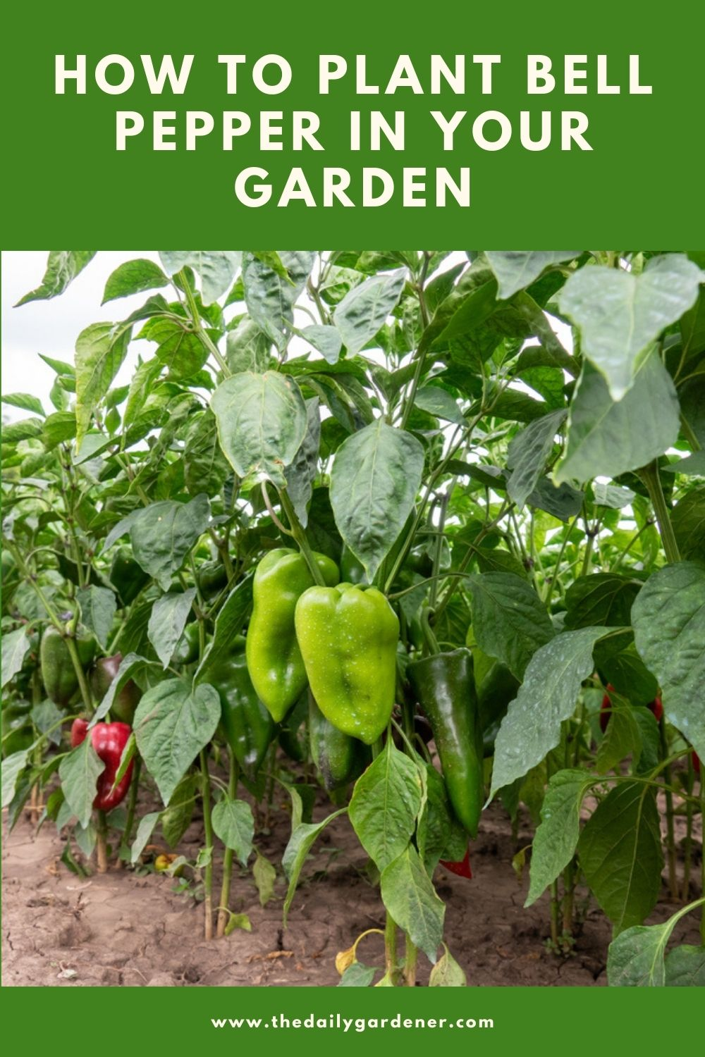 How to Plant Bell Pepper in Your Garden (Tricks to Care!) 2