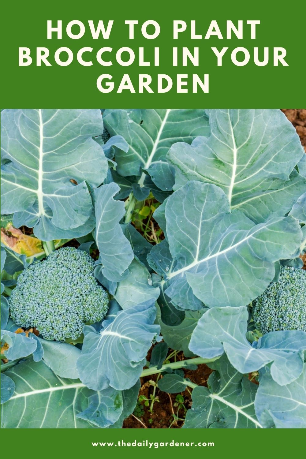 How to Plant Broccoli in Your Garden (Tricks to Care!) 1