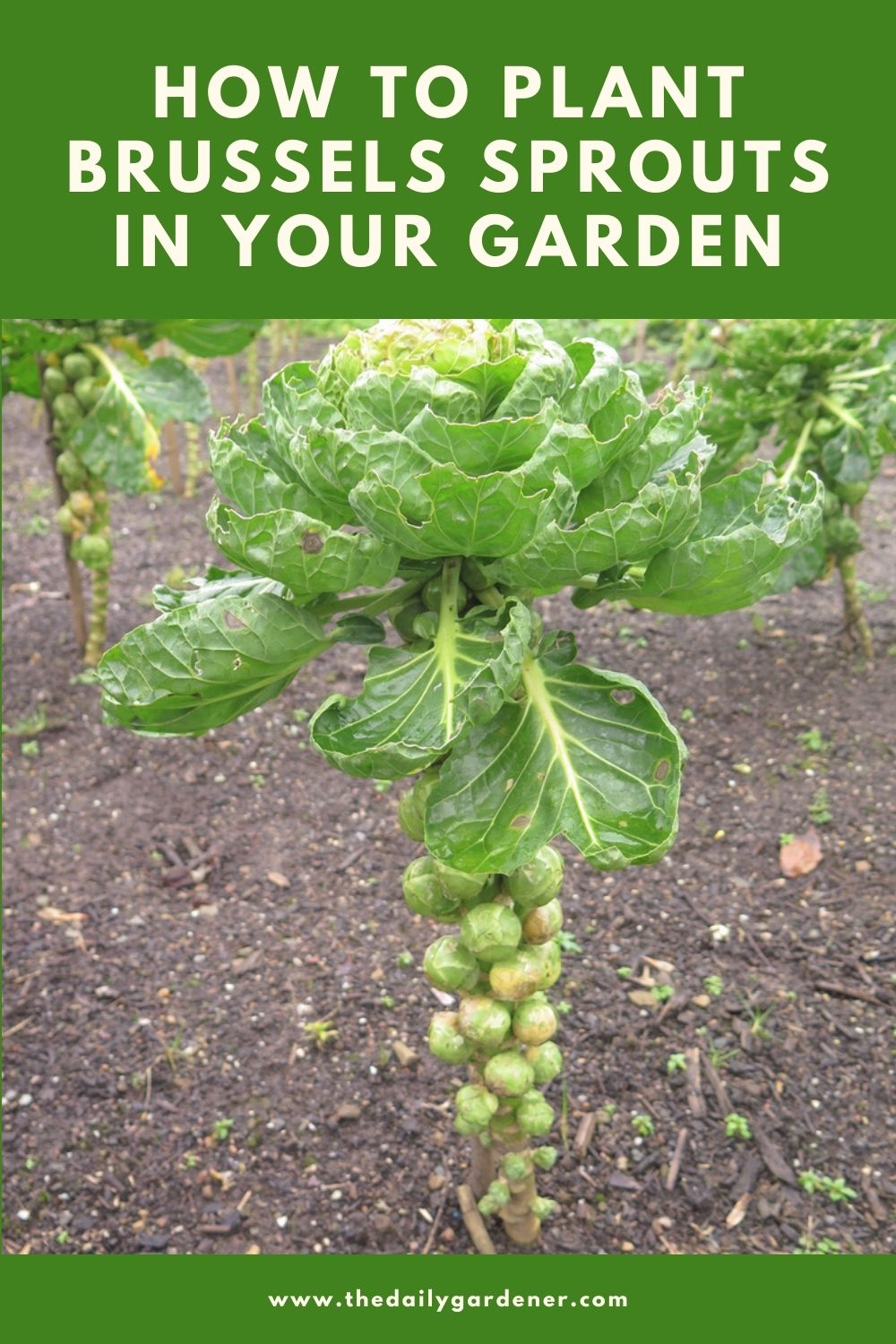 How to Plant Brussels Sprouts in Your Garden (Tricks to Care!) 1