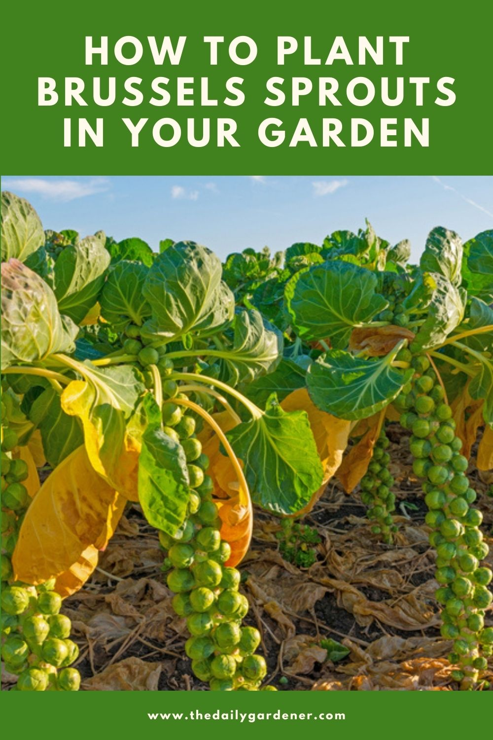 How to Plant Brussels Sprouts in Your Garden (Tricks to Care!) 2