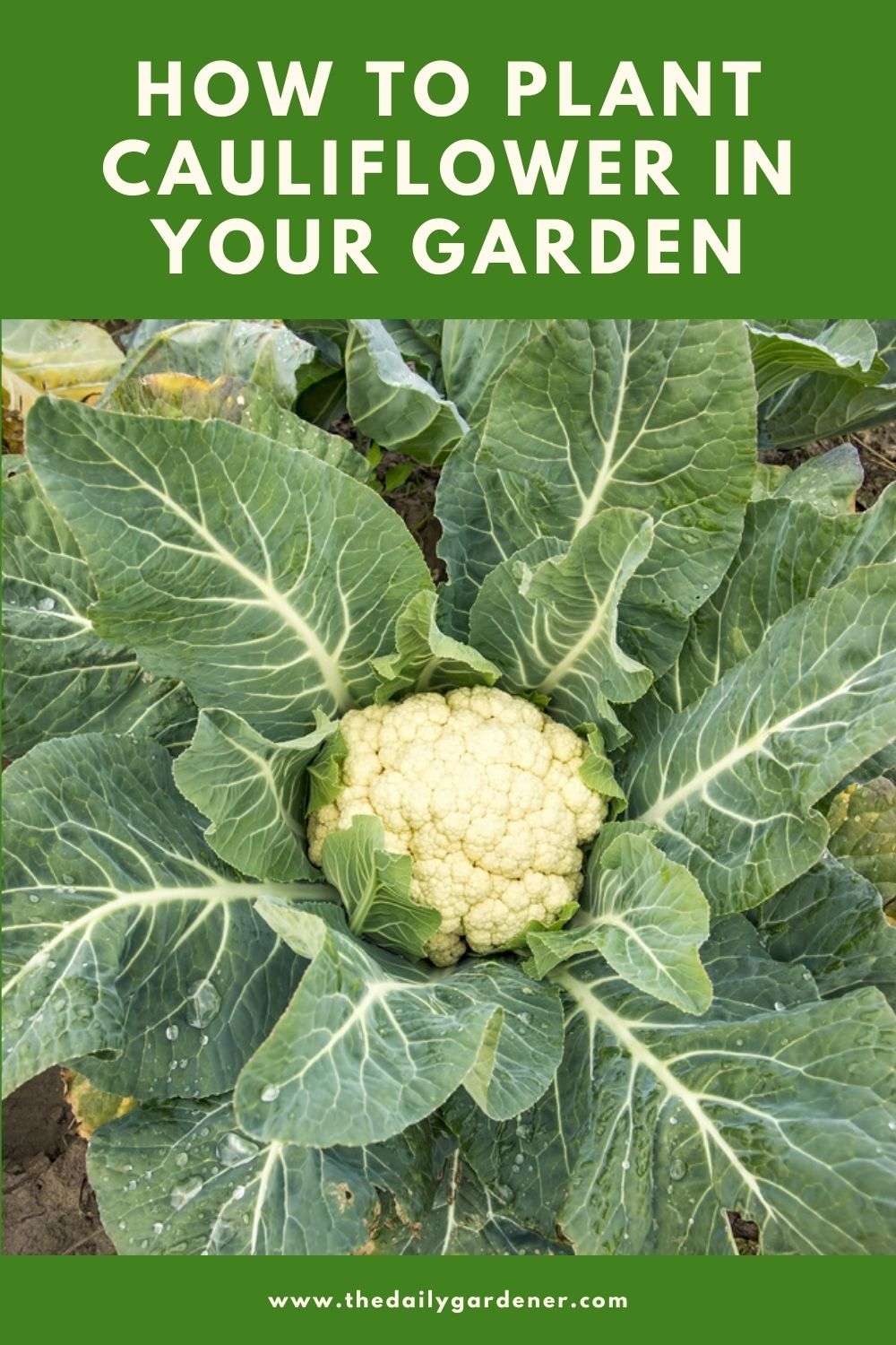 How to Plant Cauliflower in Your Garden (Tricks to Care!) 1