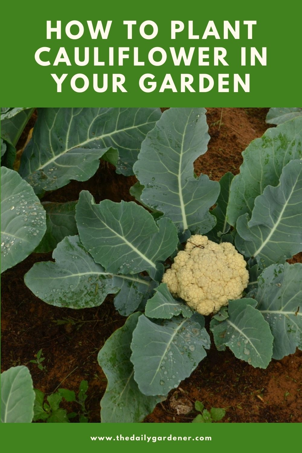 How to Plant Cauliflower in Your Garden (Tricks to Care!) 2