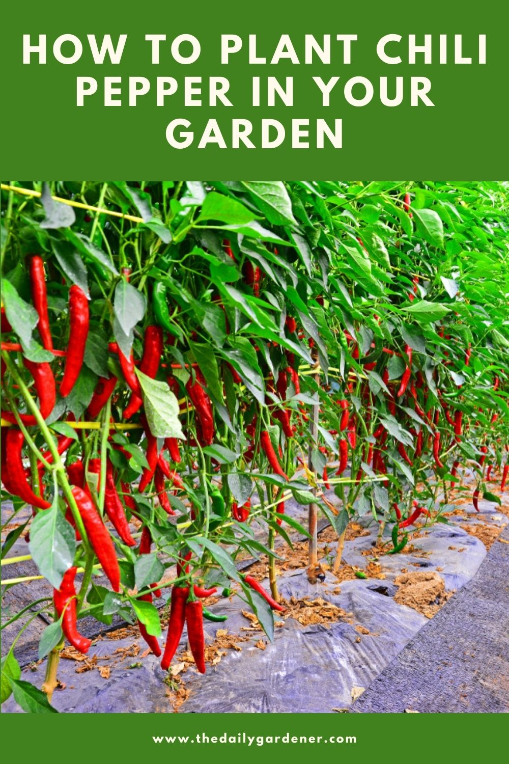 How to Plant Chili Pepper in Your Garden (Tricks to Care!) 2