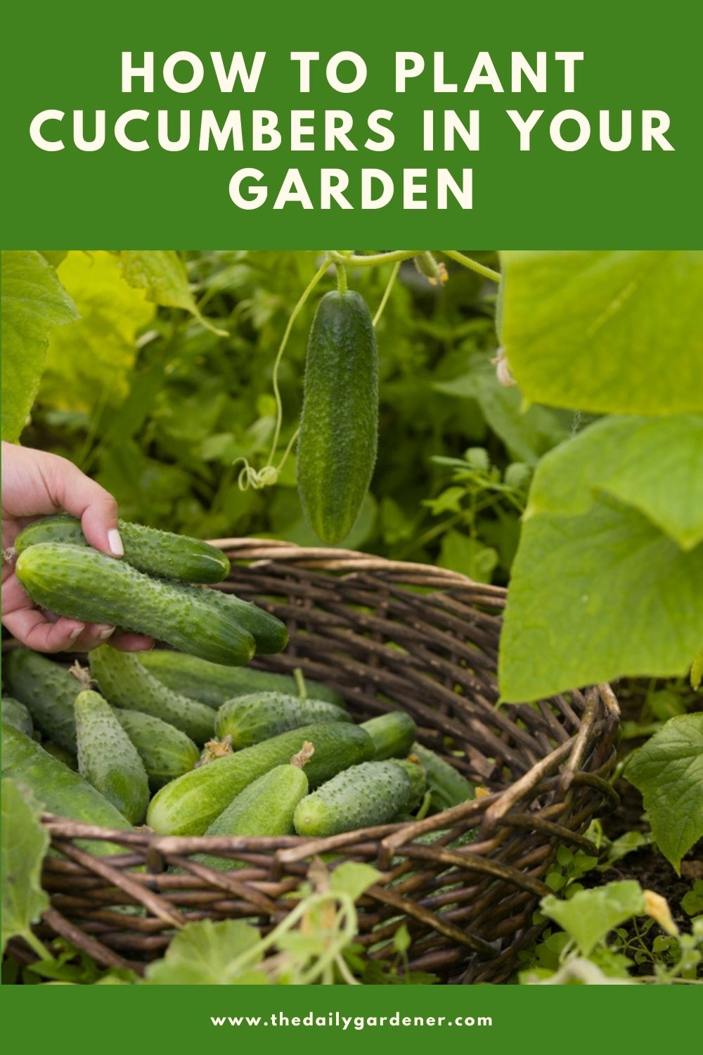 How to Plant Cucumbers in Your Garden (Tricks to Care!) 2