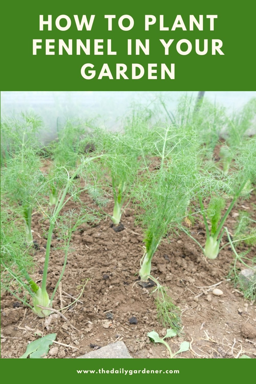 How to Plant Fennel in Your Garden (Tricks to Care!) 1