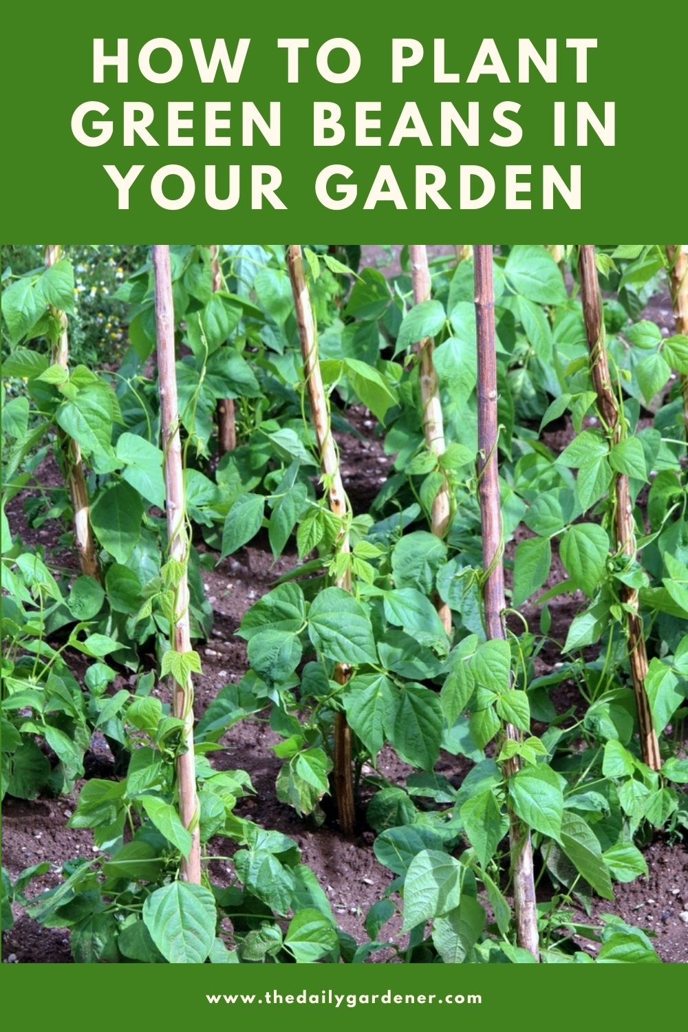 How to Plant Green Beans in Your Garden (Tricks to Care!) 1