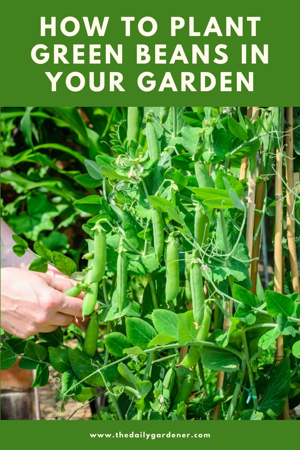 How to Plant Green Beans in Your Garden (Tricks to Care!) 2