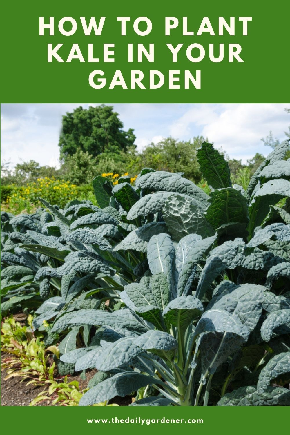 How to Plant Kale in Your Garden (Tricks to Care!) 1