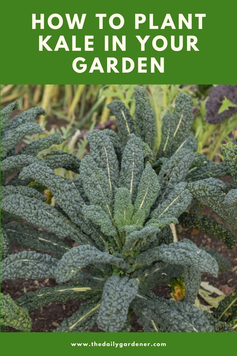 How to Plant Kale in Your Garden (Tricks to Care!) 2