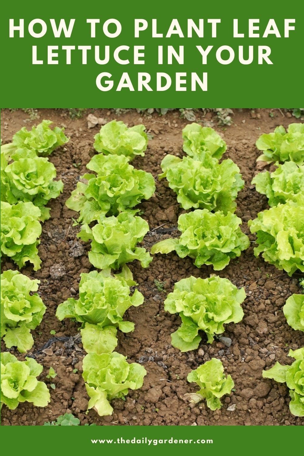 How to Plant Leaf Lettuce in Your Garden (Ticks to Care!) 1