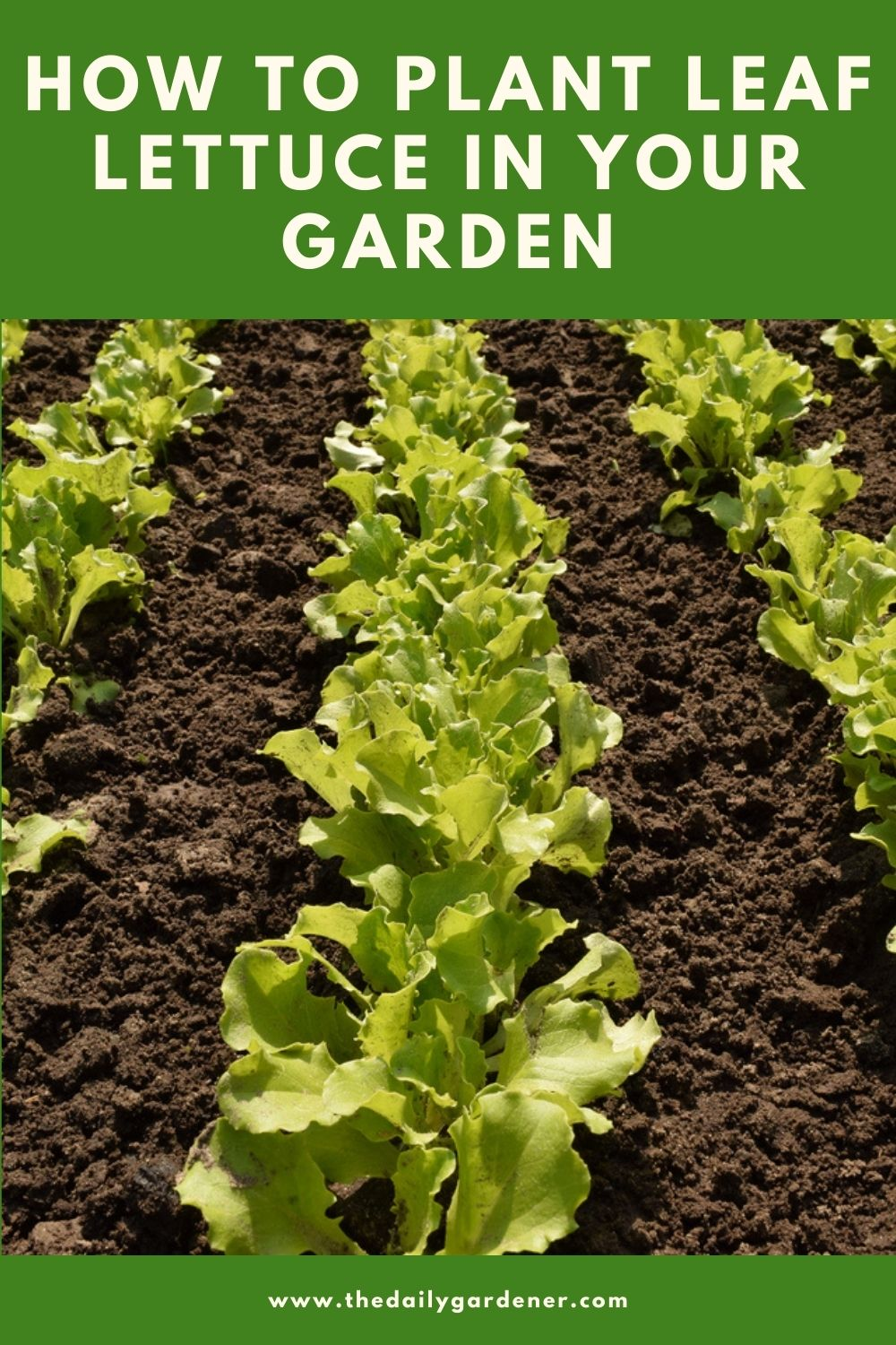 How to Plant Leaf Lettuce in Your Garden (Ticks to Care!) 2