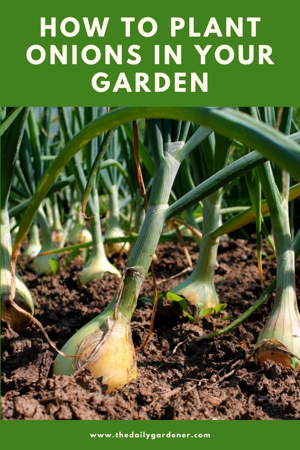 How to Plant Onions in Your Garden (Tricks to Care!) 1
