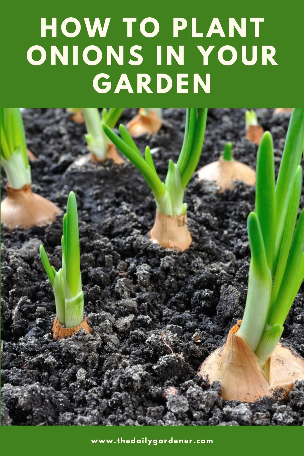 How to Plant Onions in Your Garden (Tricks to Care!) 2