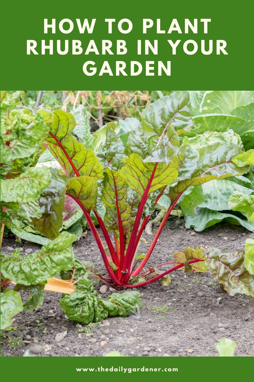 How to Plant Rhubarb in Your Garden (Tricks to Care!) 1