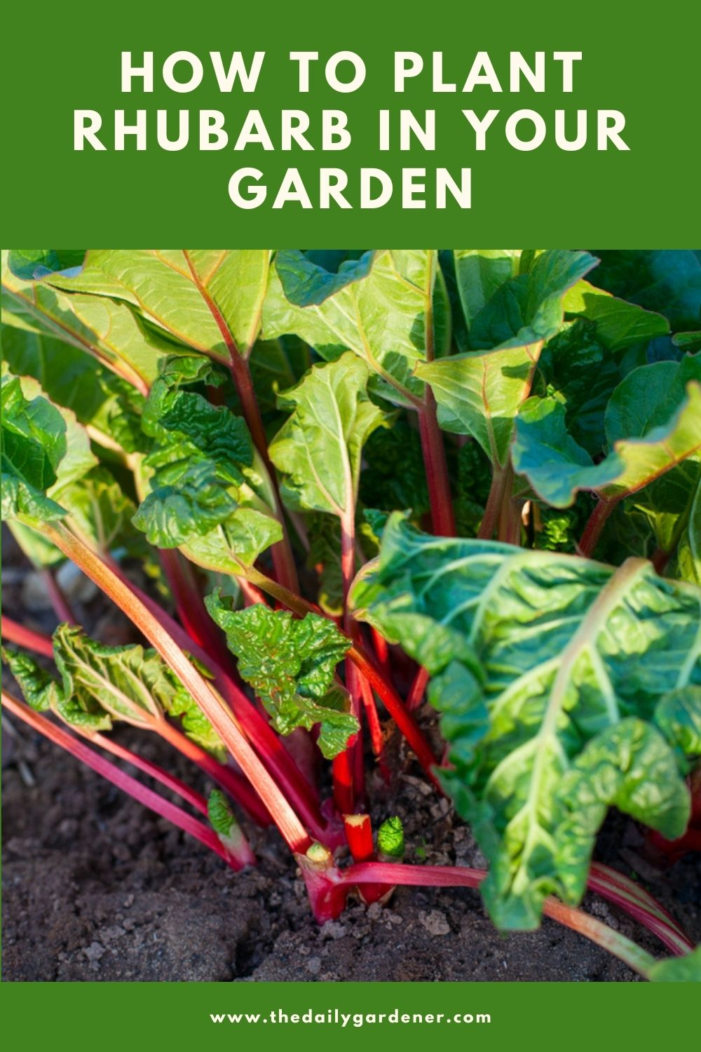 How to Plant Rhubarb in Your Garden (Tricks to Care!) 2