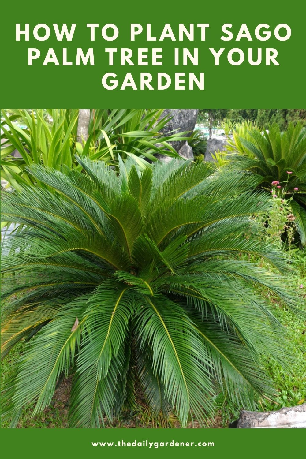 How to Plant Sago Palm Tree in Your Garden (Tricks to Care!) 1