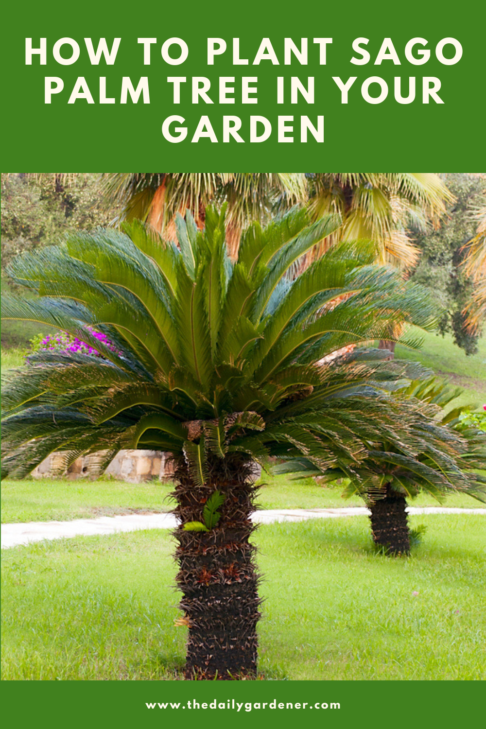 How to Plant Sago Palm Tree in Your Garden (Tricks to Care!) 2