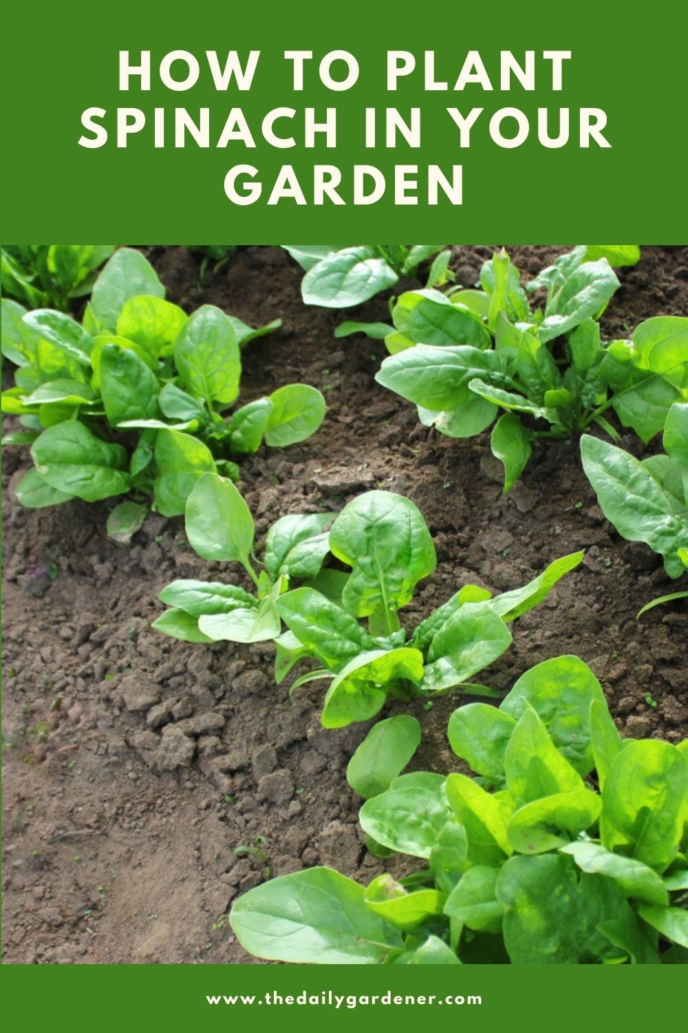 How to Plant Spinach in Your Garden (Tricks to Care!) 1