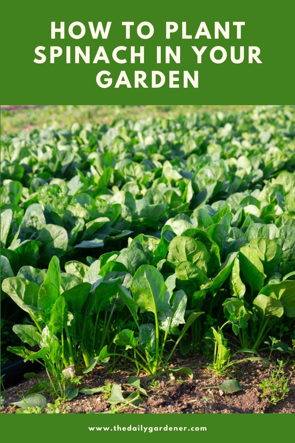 How to Plant Spinach in Your Garden (Tricks to Care!) 2