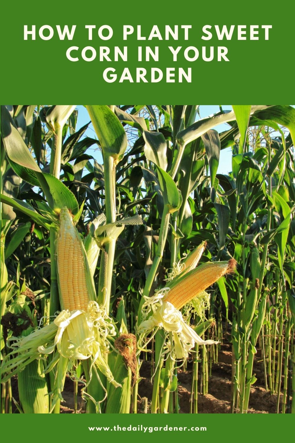 How to Plant Sweet Corn in Your Garden 1