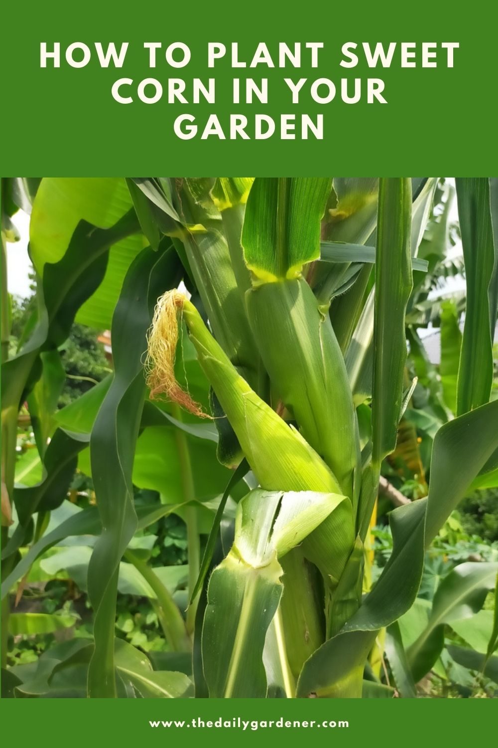How to Plant Sweet Corn in Your Garden 2