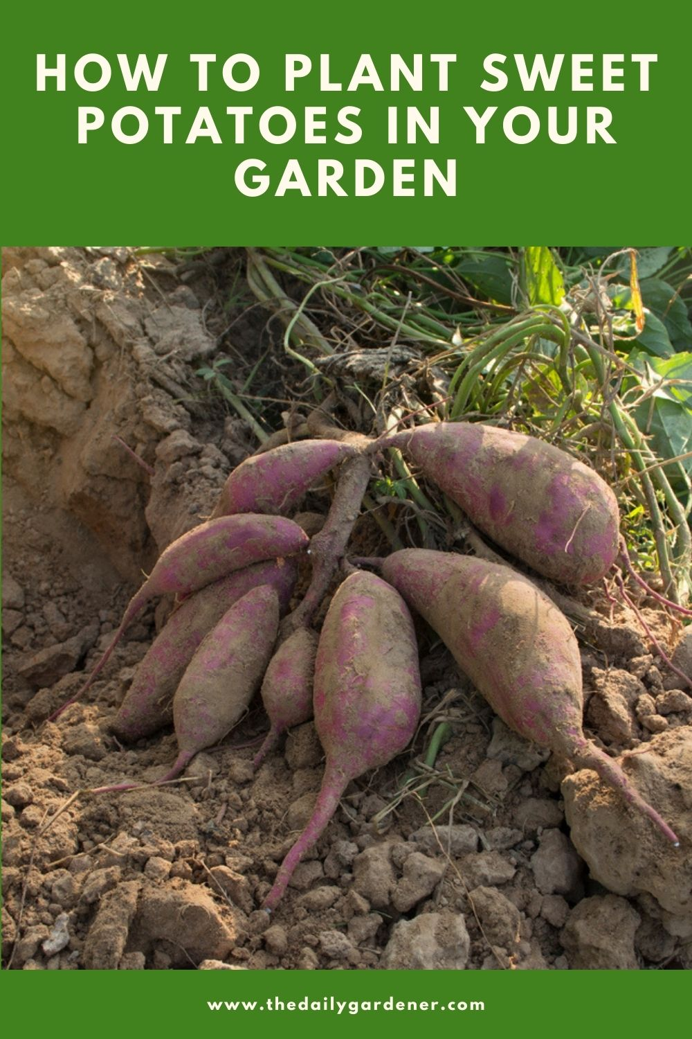 How to Plant Sweet Potatoes in Your Garden (Tricks to Care!) 1