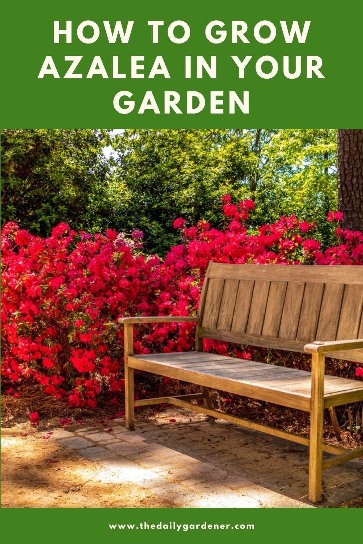 How to Grow Azalea in Your Garden (Tricks to Care!) 1