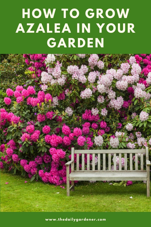 How to Grow Azalea in Your Garden (Tricks to Care!) 2