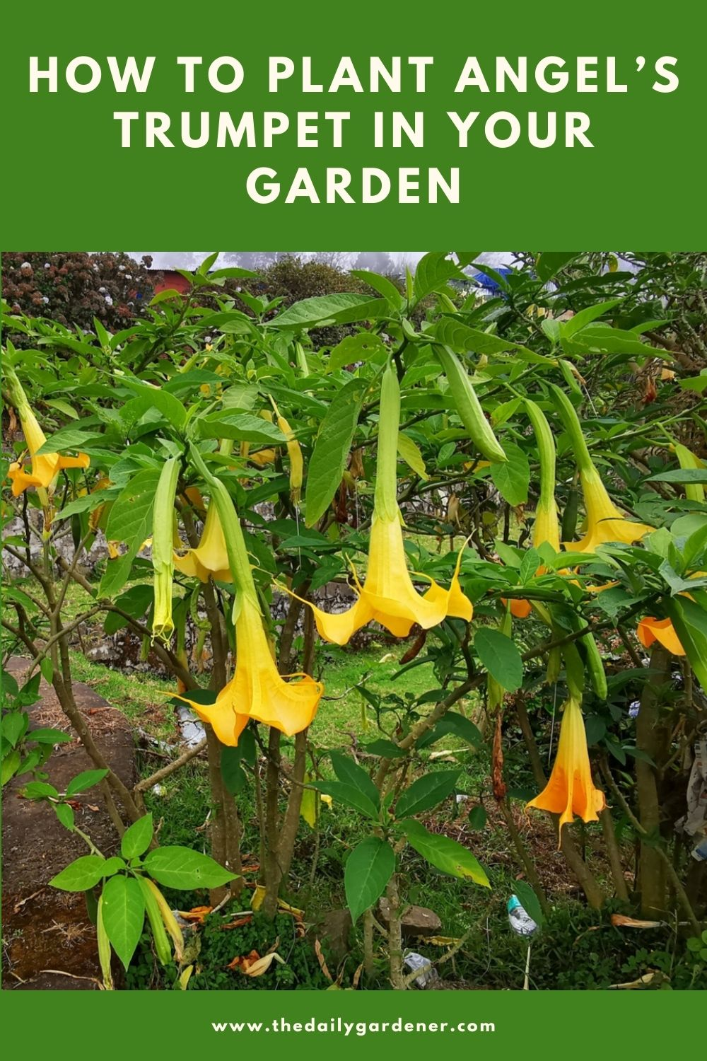 How to Plant Angel's Trumpet in Your Garden (Tricks to Care!) 2