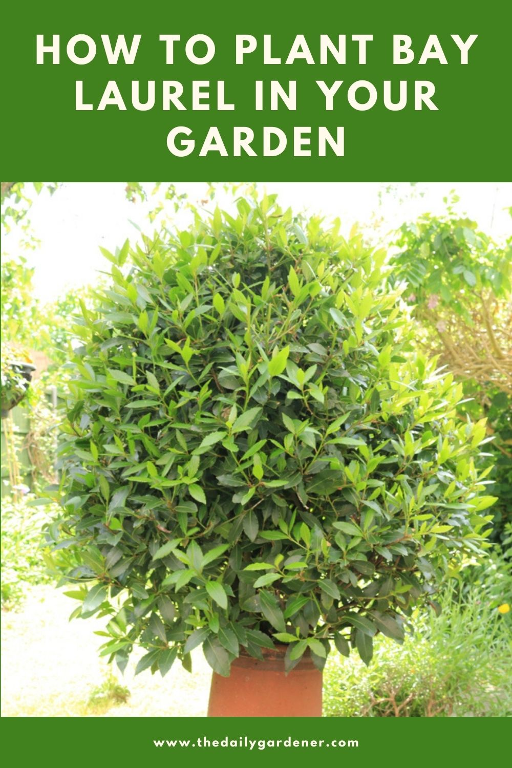 How to Plant Bay Laurel in Your Garden (Tricks to Care!) 1