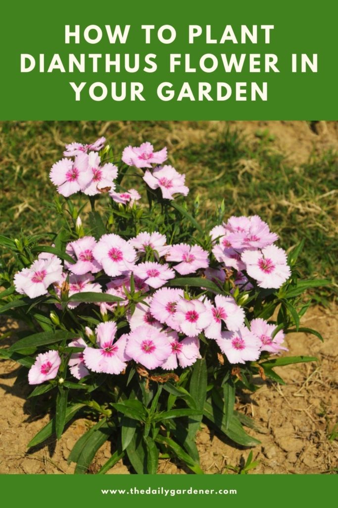 How to Plant Dianthus Flower in Your Garden (Tricks to Care!) 1