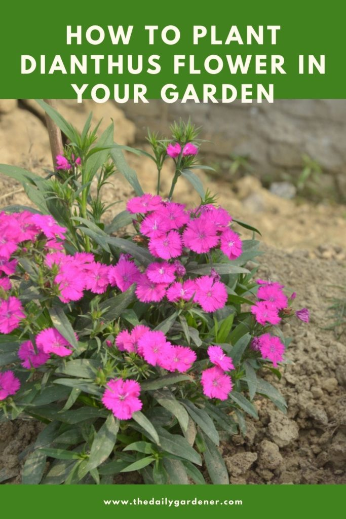 How to Plant Dianthus Flower in Your Garden (Tricks to Care!) 2
