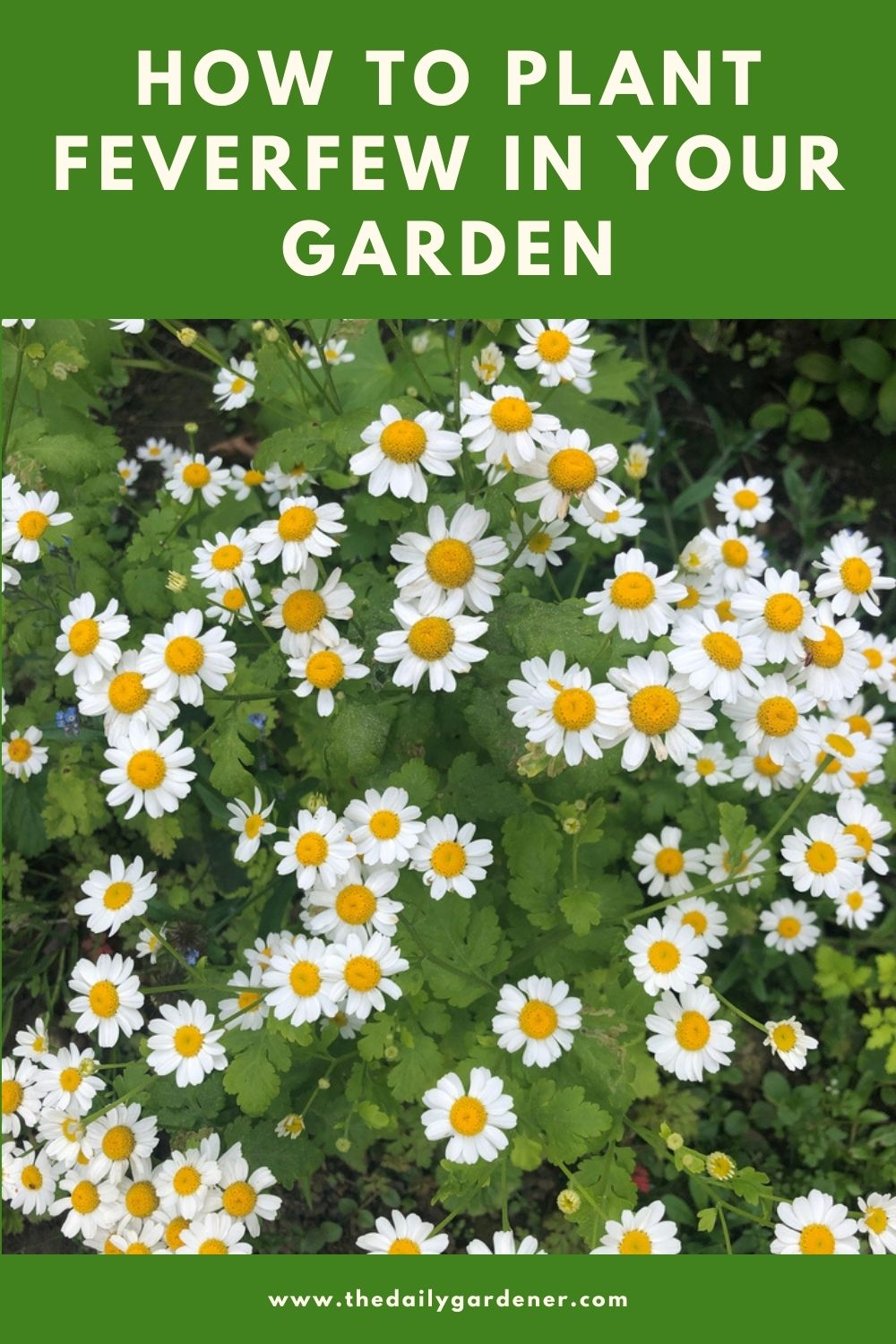 How to Plant Feverfew in Your Garden (Tricks to Care!) 1
