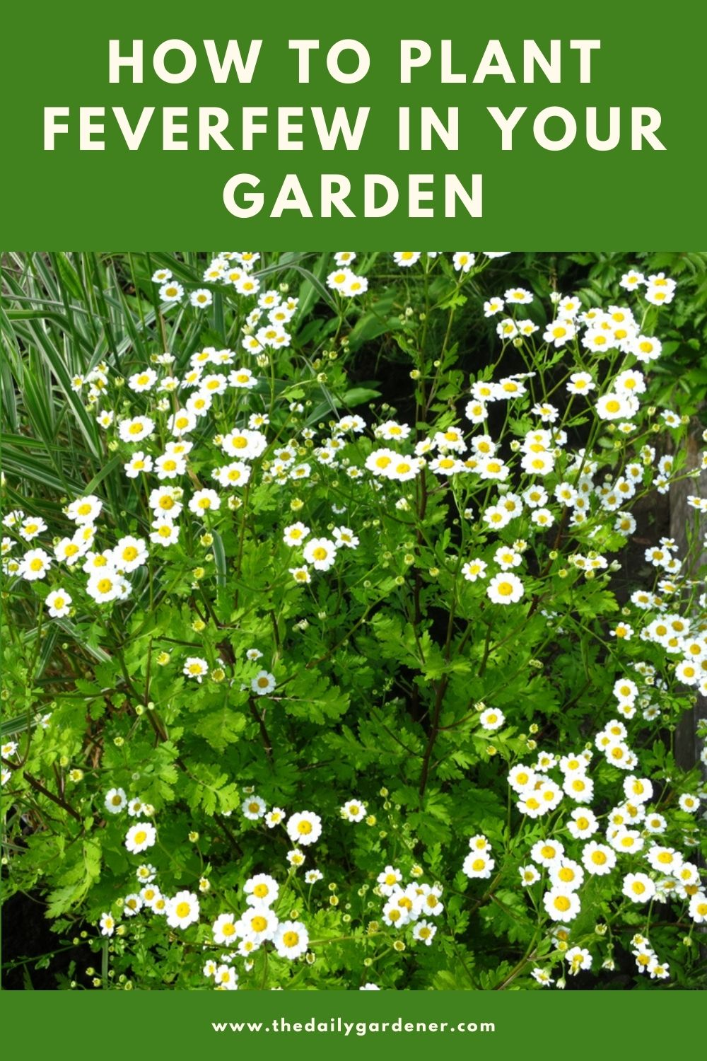How to Plant Feverfew in Your Garden (Tricks to Care!) 2