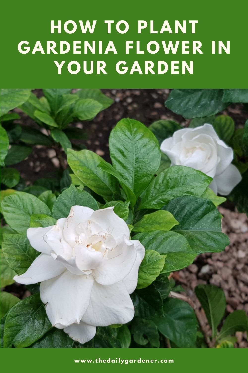 How to Plant Gardenia Flower in Your Garden (Tricks to Care!) 1